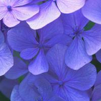 紫陽花(アジサイ)の名所