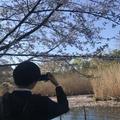 杉並太郎さんの善福寺公園の桜への投稿