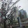 玉川真季子さんの井の頭恩賜公園の桜への投稿
