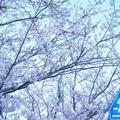 Keita.Fujitaniさんの糸島市の桜への投稿
