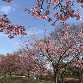 Yukari Nagamiさんの舎人公園の桜への投稿