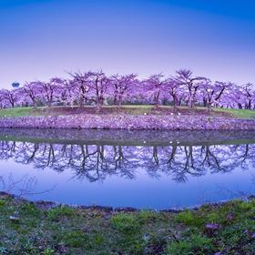 yHisaさんの五稜郭公園の桜への投稿
